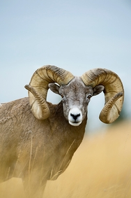 Big Horn Sheep Montana 6228