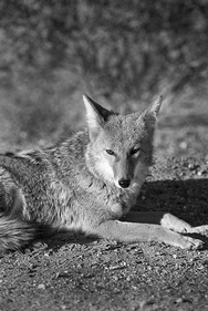 Coyote Death Valley 8264