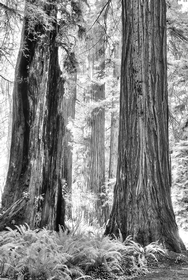 Redwood NP 2668