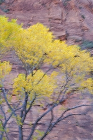 Zion Canyon Fall Color 4593