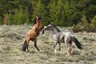 Pryor Mtn. Horses Color 4215