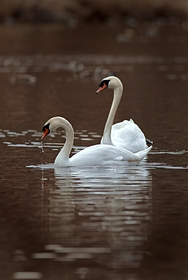 Two Swans 8541