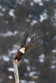 Bald Eagle takeoff 7744
