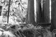 Redwood NP 2663