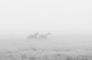 Wyoming Horses In Fog 4057