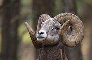 Big Horn Sheep Montana 6333