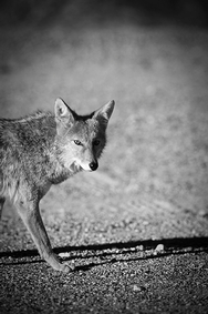 Coyote Death Valley 8118