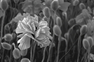 Poppies B&W6685Tm.jpg