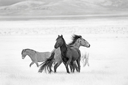 Stallions in the Wind 7585