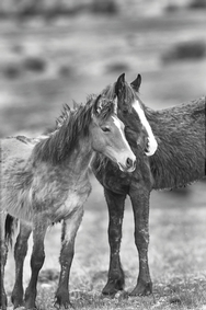 Pryor Mtn. Horses B&W 4088