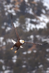 Bald Eagle takeoff 7745